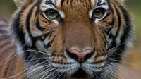 Batuk-batuk, Harimau di Kebun Binatang New York Positif Corona