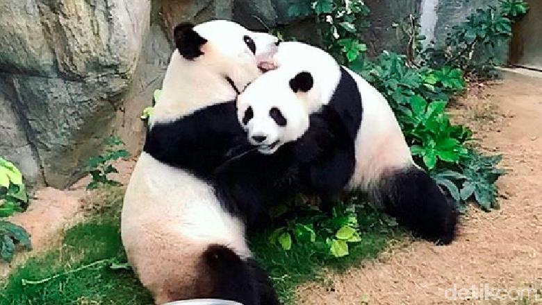 Sepasang panda akhirnya bisa kawin setelah petugas kebun binatang mencoba mengawinkan mereka sejak 10 tahun lalu.