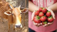 Imbas Corona Petani Ini Berikan Strawberry Untuk Sapinya