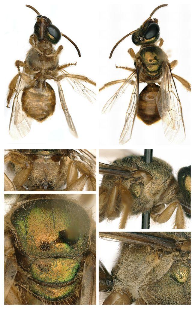 Baru-baru ini ilmuwan menemukan lebah dengan kondisi gynandromorphy. Ilmuwan yang mengidentifikasi menemukan pada bagian kiri lebah adalah jantan dan kanannya merupakan betina.