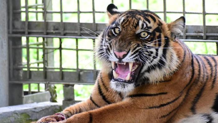 Harimau liar yang dinamai Corina, menjadi korban jerat liar di Kabupaten Pelalawan, Riau. Kemungkinan terburuk, kaki Corina terancam diamputasi.
