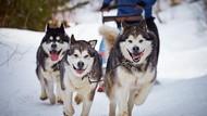 Anjing Siberian Husky Antarkan Makanan untuk Lansia Saat Corona