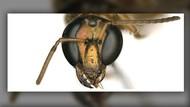 Unik, Lebah Ini Setengah Jantan Setengah Betina