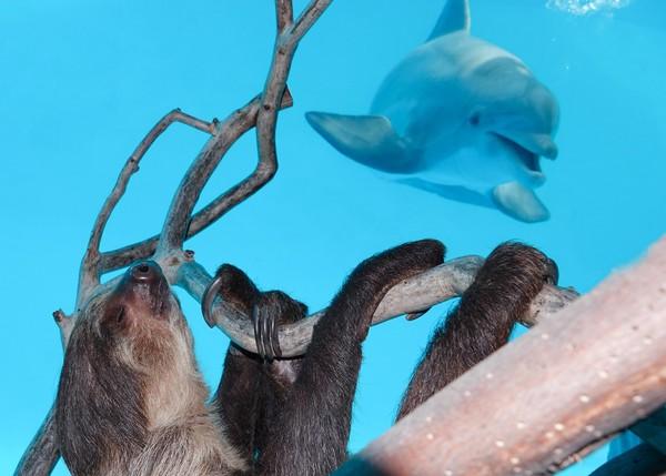 Lumba-lumba bernama Liko dan Schooner pun sangat penasaran. Bahkan Liko terinspirasi untuk mencoba gaya malas si kungkang. (Texas State Aquarium/Facebook)
