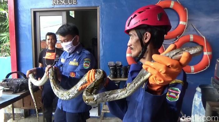 Petugas evakuasi ular di Purwakarta