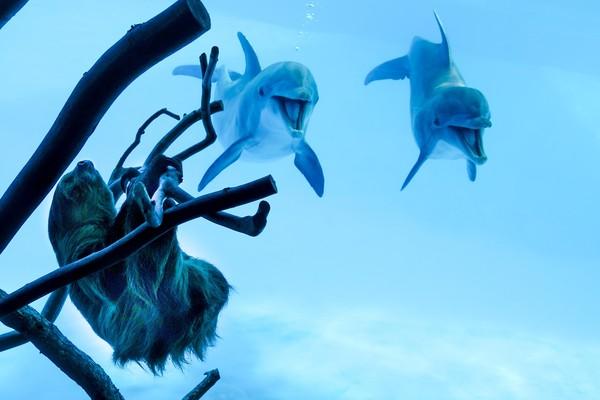 Pemandangan menarik pun terjadi ketika kungkang berada di depan kolam lumba-lumba. Kungkang bernama Chico ini pun membuat lumba-lumba yang berada di dalam akuarium pun kegirangan. (Texas State Aquarium/Facebook)