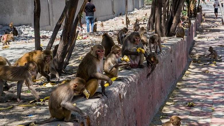 Saat Satwa Liar Menguasai Jalanan India yang Tengah Lockdown