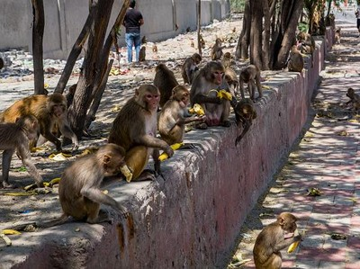 India Lockdown, Satwa Liar Keluyuran di Jalan Cari Makan