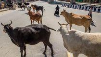Satwa Kuasai Jalanan India
