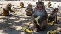 Akibat COVID-19, Kawanan Monyet Jarah Makanan di Thailand