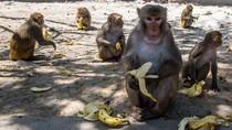 Monyet-monyet Berkeliaran di Jalan Minta Makan