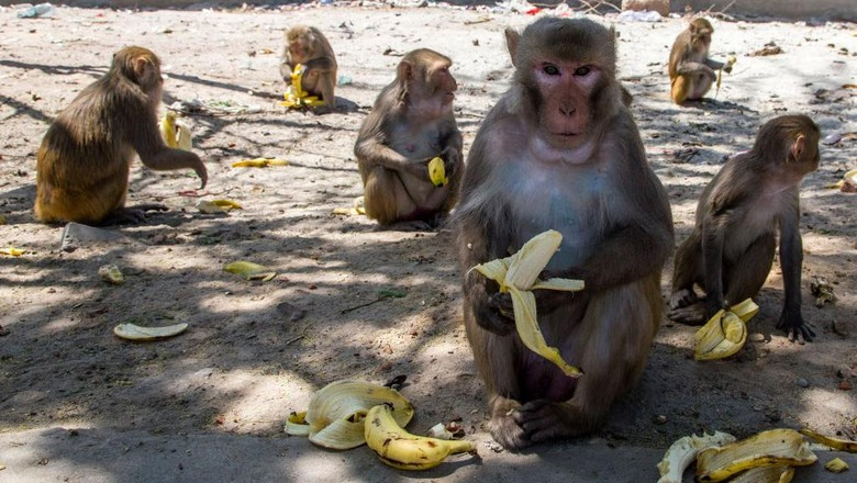 NEW DELHI, INDIA - APRIL 08: Monkeys gathered on the side of the road eat bananas passed out by residents as India remains under an unprecedented lockdown over the highly contagious coronavirus (COVID-19) on April 08, 2020 in New Delhi, India. Wild animals, including monkeys, are roaming human settlements in India as people are staying indoors due to the 21-day lockdown. With Indias 1.3 billion population and tens of millions of cars off the roads, wildlife is moving towards areas inhabited by humans. Wild animals in many countries have been seen roaming streets. A study says some 60 percent of the new diseases found around the globe every year are zoonotic, meaning they originate in animals and are passed on to humans. COVID-19 is a zoonotic disease that is suspected to have come from the wet markets of Wuhan, China. (Photo by Yawar Nazir/Getty Images)