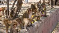 Monyet Curi Sampel Virus Corona dari Teknisi Laboratorium