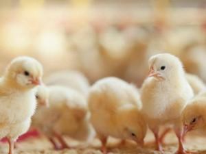 Panic Buying! Masyarakat Amerika Borong Anak Ayam