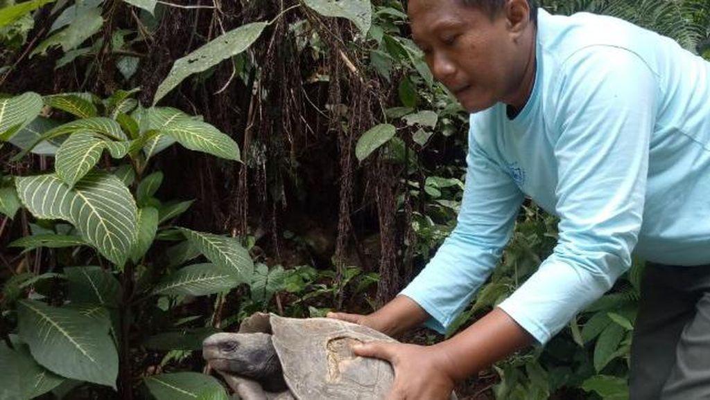 BKSDA Agam Sumbar Terima 7 Ekor Kura-kura Kaki Gajah yang Terancam Punah
