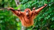 Orangutan Kalimantan Jadi Maskot Merek Susu Malaysia