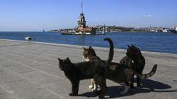 Bagaimana Nasib Ribuan Kucing Liar di Istanbul Saat Pandemi Virus Corona?