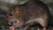 Pandemi Virus Corona, Tikus-tikus Kelaparan dan Makin Banyak Berkeliaran