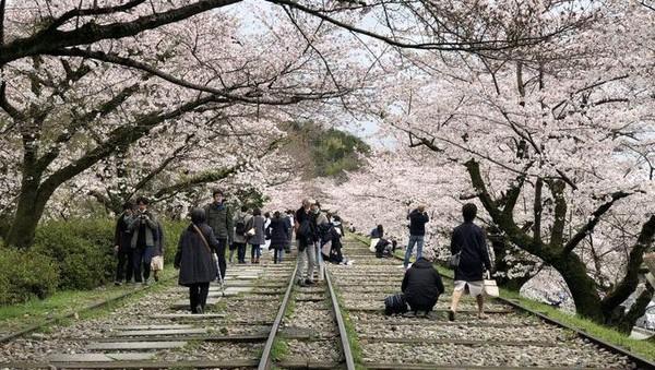 Lokasinya ada di sisi Timur luar Kota Sakyo-ku, Kyoto. Wujudnya berupa bekas jalur kereta dengan panorama pohon sakura di sisi kiri dan kanannya(Twitter)