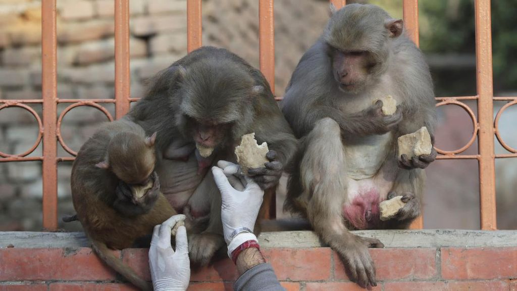 Kala Hewan Ikut Terdampak Corona dan Lockdown di Nepal