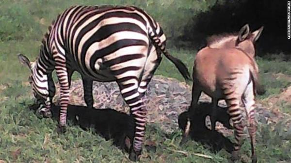 Tahu nggak, terdapat kuda hasil perkawinan silang antara zebra dengan keledai, panggilannya zonkey.(dok. Sheldrick Wildlife Trust)