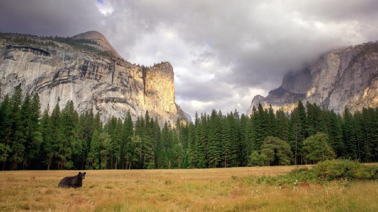 Beruang hitam di Taman Nasional Yosemite