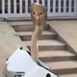 Hii... Ular Kobra Sembunyi di Batok Motor yang Kelamaan Parkir