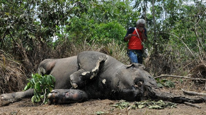 Petugas melihat bangkai gajah Sumatera jantan yang mati di area perkebunan kelapa sawit PT Makmur Inti Bersaudara Desa Seumanah Jaya, Kecamatan Ranto Peureulak, Aceh Timur, Aceh, Kamis (16/4/2020). Gajah jantan yang diperkirakan berusia lima tahun tersebut diduga mati akibat keracunan dan menurut data Forum Konservasi Leuser (FKL) sejak Januari sampai pertengahan April 2020 menyebutkan sebanyak sembilan individu gajah Sumatera mati di Provinsi Aceh yang tersebar di Kabupaten Aceh Utara, Aceh Jaya dan Kabupaten Aceh Timur. ANTARA FOTO/ Hayaturrahmah/Syf/aww.