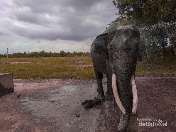 Gajah di Taman Nasional Way Kambas