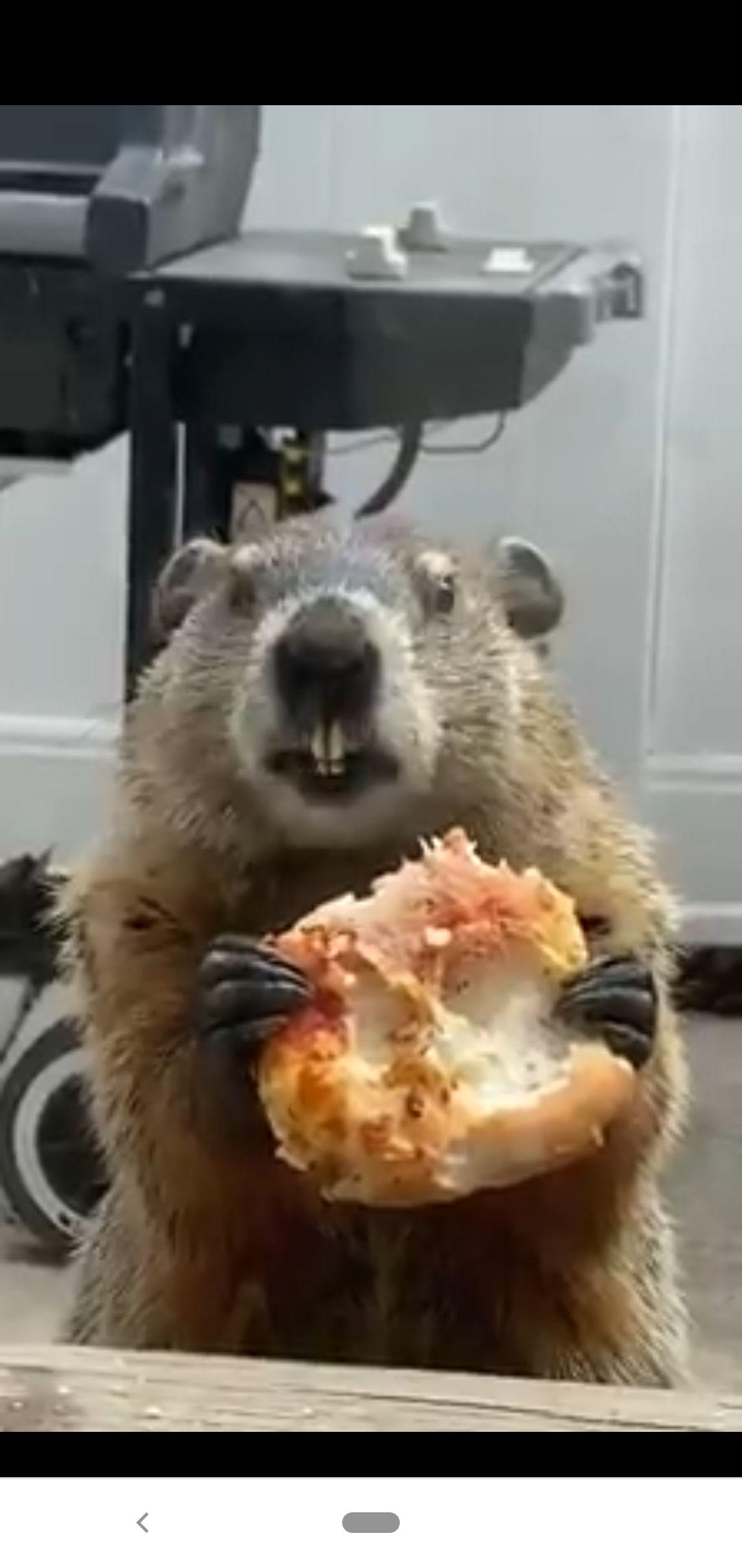 marmot makan pizza