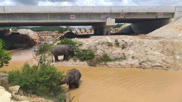 Proyel Tol Pekanbaru-Dumai dilengkapi terowongan untuk gajah. Proyek tol ini segera rampung