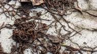 Heboh Cacing-cacing Keluar dari Tanah, Karena Zat Disinfektan?