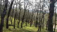 NTT Juga Punya Hutan Pinus Instagramable