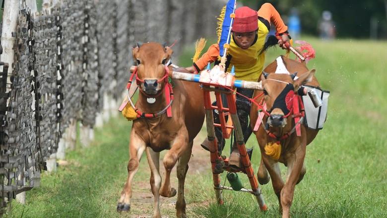 Joki memacu sapi saat latihan karapan sapi di Desa Durbuk,  Pamekasan, Jawa Timur, Minggu (19/4/2020). Latihan tersebut  merupakan uji coba terakhir menjelang bulan puasa dan dilaksanakan kembali pada pertengahan bulan Ramadan. ANTARA FOTO/Saiful Bahri/