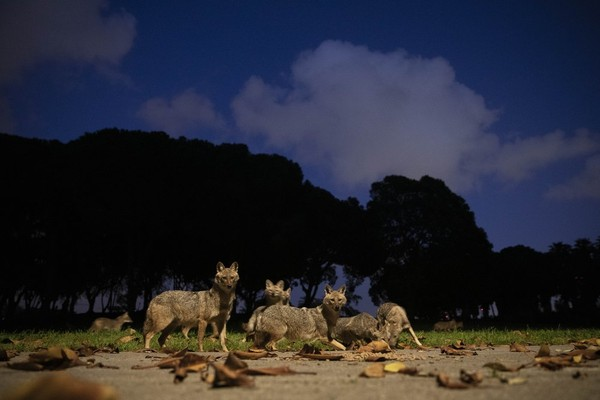 Lockdown di sejumlah negara telah membawa kebebasan bagi para satwa, termasuk kawanan jakal yang kini bisa bermain di Kota Tel Aviv, Israel. (Foto: Oded Bality/AP)
