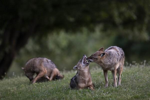 Kawanan jakal terlihat asyik menikmati Taman Hayarkon saat manusia harus berdiam di rumah mereka karena Israel yang sedang lockdown. (Foto: Oded Bality/AP)