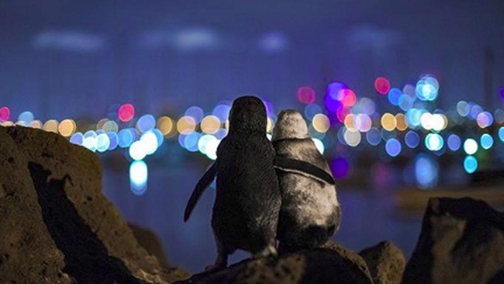 Sepasang Penguin yang So Sweet, Viral karena Berpelukan Mesra