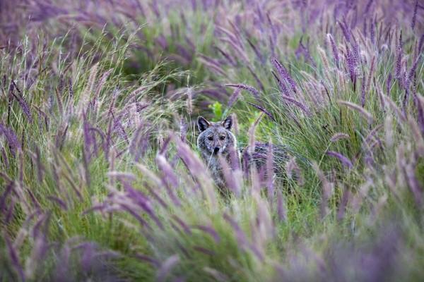 Jakal sendiri adalah anjing hutan yang berbulu kuning yang terdapat di Afrika dan Asia. (Foto: Oded Bality/AP)