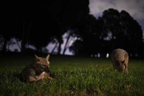 Para jakal ini diketahui datang ke kota sebelum malam tiba. Setibanya di taman mereka tampak bergembira. Mereka merebahkan diri di rerumputan taman atau saling berkejaran. (Foto: Oded Bality/AP)