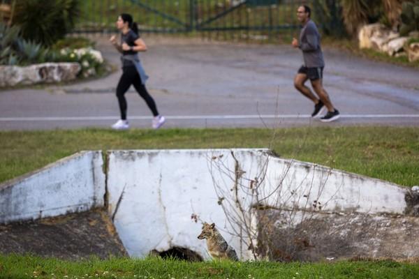 Taman yang biasanya dipenuhi oleh orang-orang yang berolahraga, piknik, atau berjemur itu saat ini memang telah kosong. Sebagai gantinya, para jakal yang mengambil alih. (Foto: Oded Bality/AP)