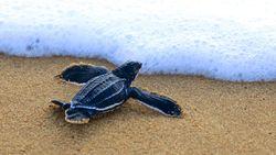 Sedih Deh, Ternyata Tukik Lebih Sering Makan Sampah Plastik di Lautan