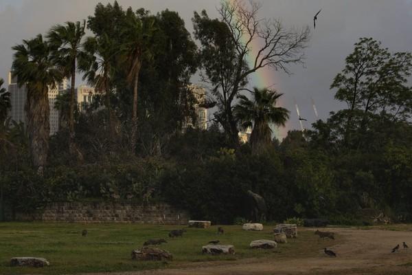 Galin memperkirakan ada sekitar 100 jakal yang tinggal di Taman Hayarkon. Ia juga menjelaskan sebenarnya jakal ini takut pada manusia dan cenderung menjaga jarak. (Foto: Oded Bality/AP)