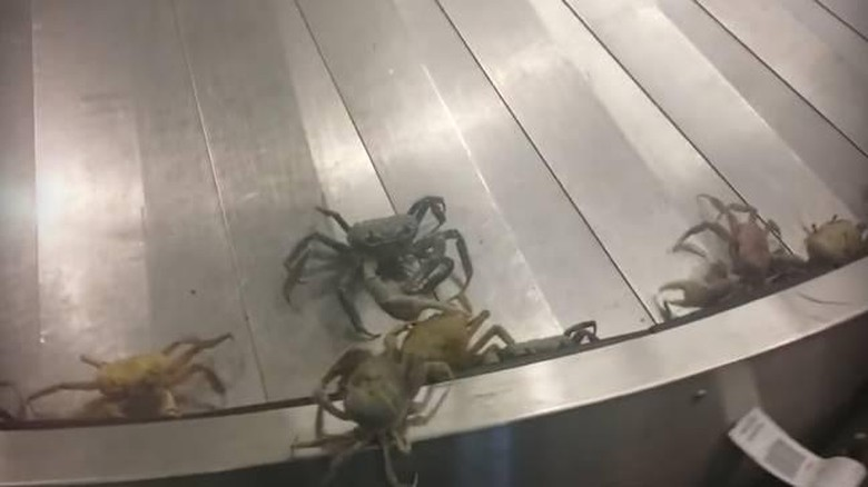Kepiting di Bandara Bahama