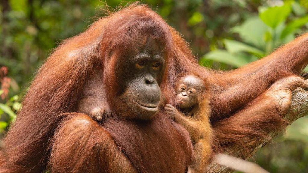Seekor Bayi Orang Utan Lahir di Taman Nasional Gunung Palung