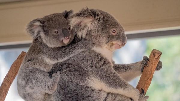 Traveler juga bisa menyaksikan live streaming dari koala lucu yang senang berpelukan di Lone Pine Koala Sanctuary di Queensland. Imut banget!