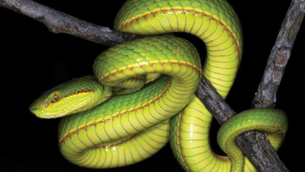 Spesies Ular Baru Ditemukan di India, Diberi Nama Pendiri Hogwarts