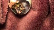 Unik! Wanita Ini Mengerami Telur Bebek Dalam Bra Selama 35 Hari