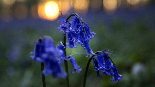 Bunga bluebells yang jadi ikon Hallerbos