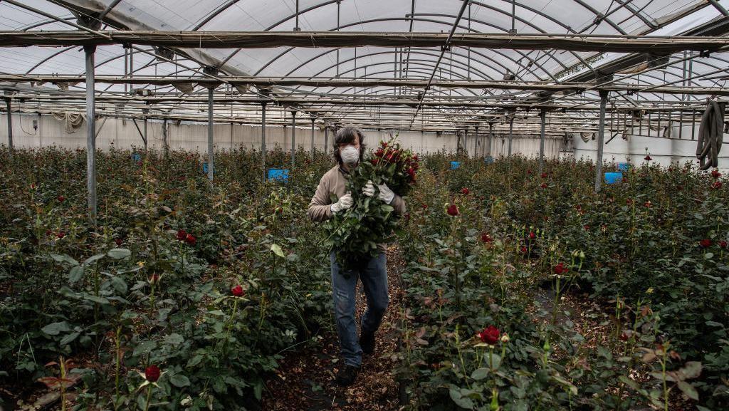 Tahun Lalu Panen 7 Juta Mawar, Saat Ini Cuma Andalkan Penjualan Daring