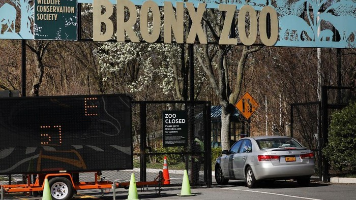 NEW YORK, NEW YORK - APRIL 06: A car enters the Bronx Zoo on April 06, 2020 in New York City. A tiger at the zoo has tested positive for COVID-19, the Wildlife Conservation Society said in a statement Sunday. The tiger, a 4-year-old named Nadia, had developed a dry cough and a decrease in appetite. Results from a test, which were confirmed by the USDAs National Veterinary Services Laboratory, showed that she had contracted the virus, most likely from a zoo worker.   Spencer Platt/Getty Images/AFP